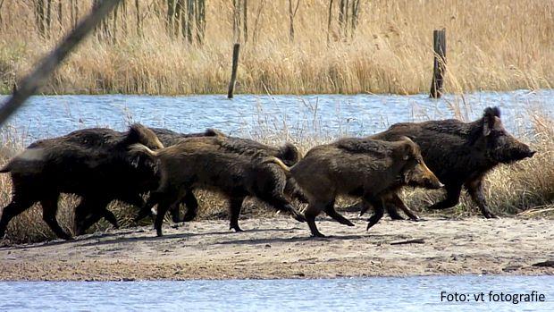 Ausbruch der Afrikanischen Schweinepest