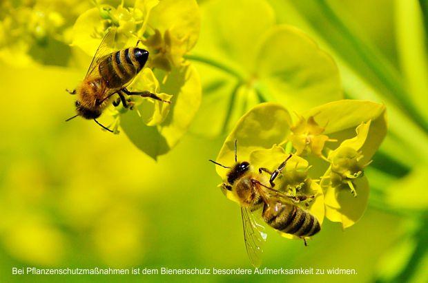 Bei unumgänglichen Pflanzenschutzmaßnahmen während der Blüte von Kulturpflanzen ist dem Schutz der Honigbiene und anderer Blütenbesucher besondere Aufmerksamkeit zu widmen
