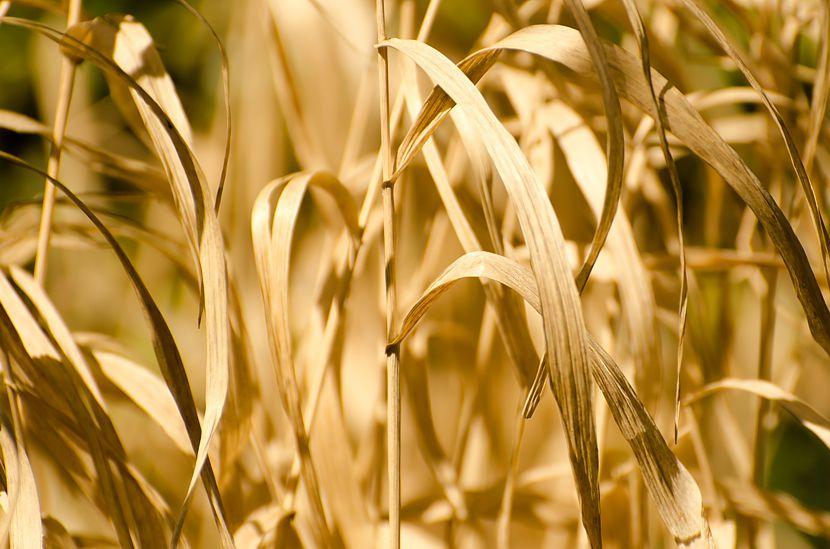 Bauernbund Brandenburg lehnt Dürrehilfe ab