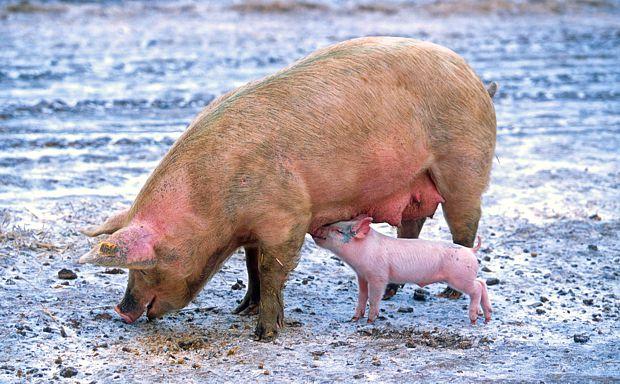 Trichinenbefund bei Hausschwein in Dahme-Spreewald
