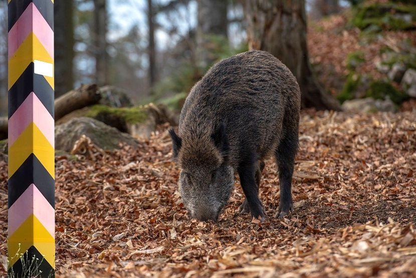 Afrikanische Schweinepest rückt deutlich näher