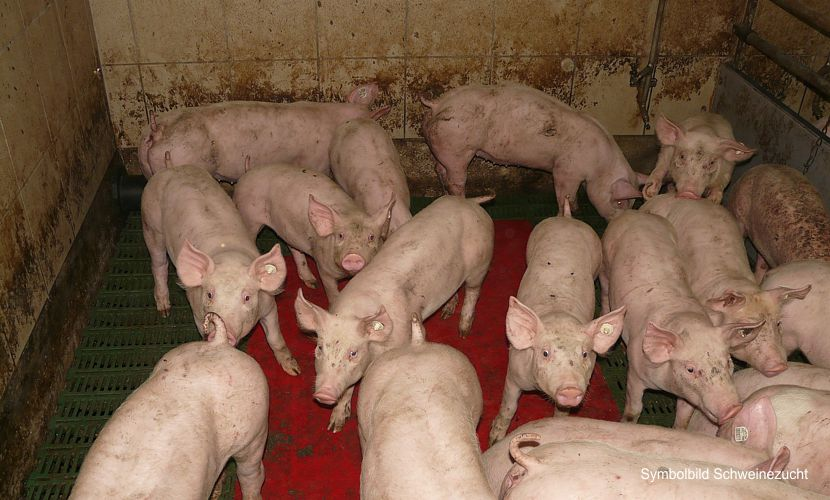 Grundwasserverseuchung Schweinemast Tornitz