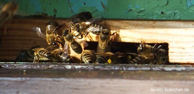 Bienenforschung in Brandenburg