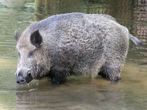 Nachweis von Trichinellen bei einem Wildschwein im Spree-Neiße Kreis